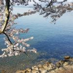 海津大崎に桜を見に行ってきたよ!